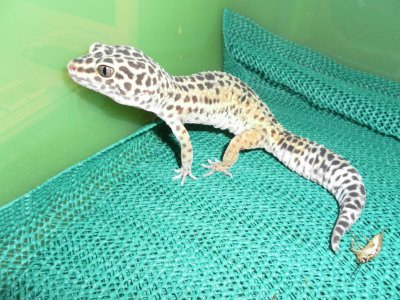 Femelle Gecko leopard