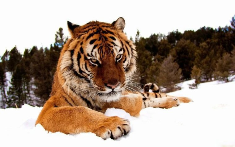 Les tigres aiment ils la musique