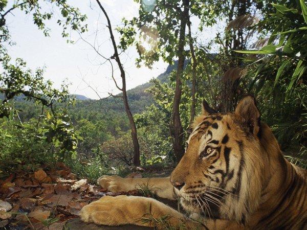 Golden Blog Awards Paris 2012, le premier maillont de la chaine alimentaire mondiale est gravement menaçer d'extinction, qu-est-ce que le premier maillont d'une chaine alimentaire mondiale ? le tigre sert de rempart pour proteger d'autres especes d'animaux menacer également par le braconnage, . grace aux vastes territoires qu'il lui sont necessaire, le tigre contribue à l'équilibre du bien-etres essentiele des forets d'asies, par son role de predateur, il maintient ainssi  de nombreuses especes d'herbivores à un niveau raisonnable et contribu ainssi  à filtrer et à purifier les eaux de pluies,  il empeche aussi les phénomenes de surpaturages et d'errosion et donc à alimenter les nappes phréatiques et les points d'eaux necessaires aux differentes éspéçes animales, il ne reste plus aucun doute que le tigre, le plus beaux et le plus prodigieux d'entre tout les félins, est en train de laisser ses dernieres traçes sur la courte voie de son innévitable èxtinction, ce blog est un rappel à l'ordre , avant qu'il ne soit trop tard.... pour cette participation, un grand merci, aux prestigieux golden blog awards, à skyrock.com, wwf/france, louis beriot, patrick cheron, jonh varty, jim corbett, yanick noah, léonardo de caprio, indiera ghandi, trente millions d'amis, stephane ringuet, bruno plouvier, vladimir poutine, {SALIM ALI ET BILLY ARJUN SINGH, qui ont voué leur vie entiere à la protection du tigre, les seules detenteures du prix j.paul getty wildlife awards }