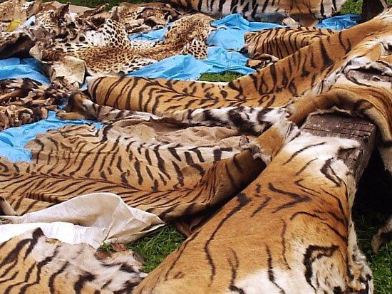 SAVE OUR TIGERS must watch..it's different..     ATTENTION VIDÉO SÉRIEUSE , J'AIMERAI QUE CERTAINE PERSONNES DITES SENSIBLES S'ABTIENNENT DE LA VISIONNER,