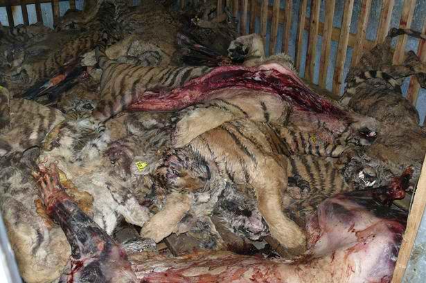 Tigres - Leur dernier espoir, c'est vous ! attention, certaines scènes de cette vidéo peuvent heurté des personnes sensibles, merci de votre conpréhension