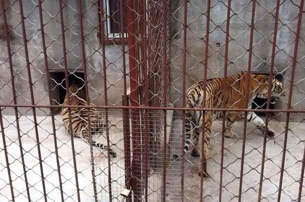6000 tigres pour des élevages en fermes à des fins commerciales