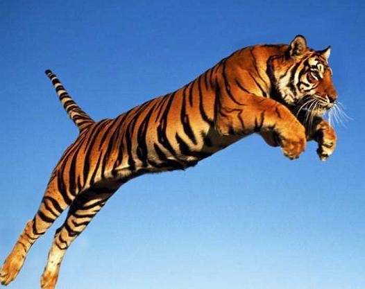 Incredibly Rare Siberian Tiger Release, dévoreur de réves et de liberté infinie
