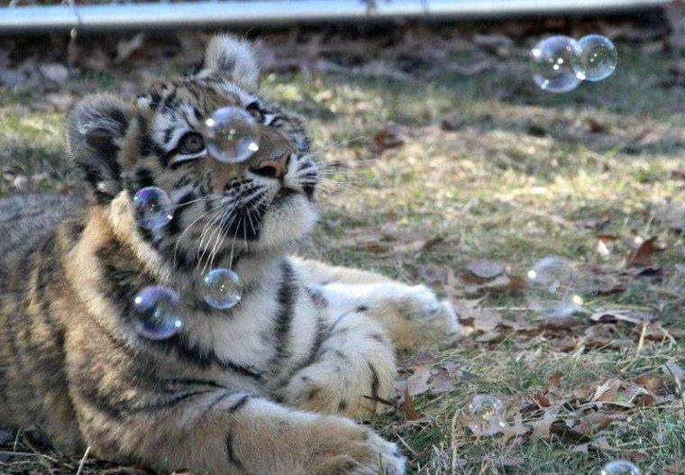si paris vaut bien une messe, alors nos tigres valent bien un empire