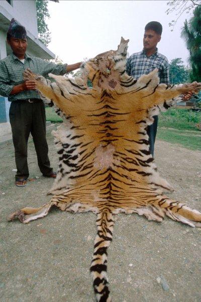 les tigres... de moins en moins nombreux ....