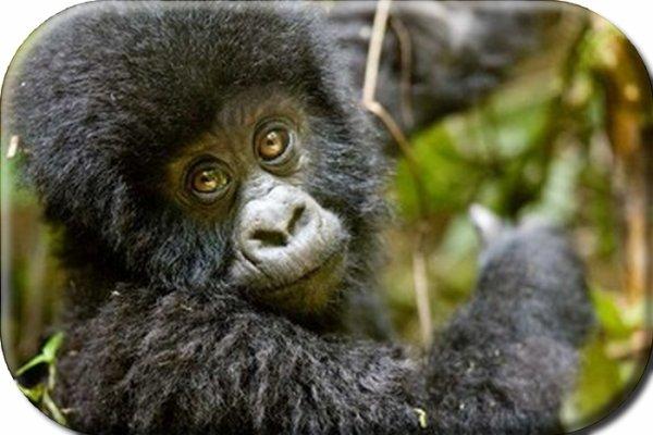 Les gorilles des montagnes, plus que 700 individus au Monde...