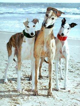 La vie du greyhound au état unis...