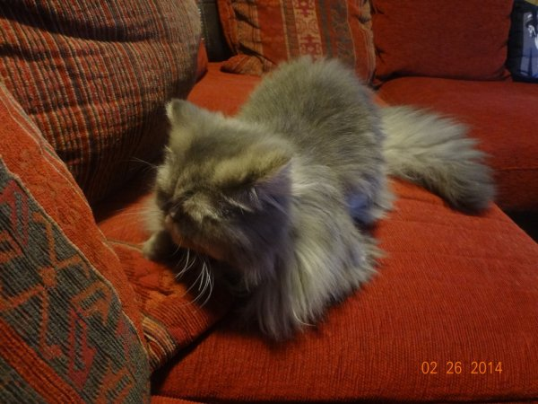 Mon mâle persan blue chinchilla.......