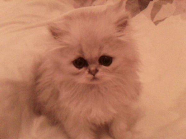 Ma femelle persan chinchilla.......