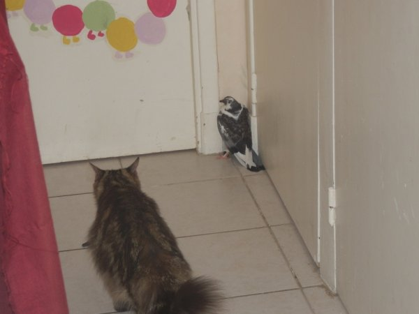 c normal de trouver un drole de pigeon dans le couloir en rentrant a la maison ?  mdr le pire c'est que j'ai un chat qui etait seul avec lui ... ^^